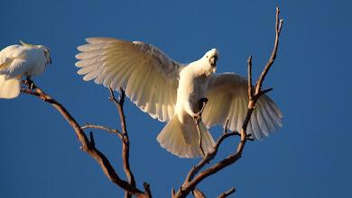 Photo: Sulphur-crested Cockatoo