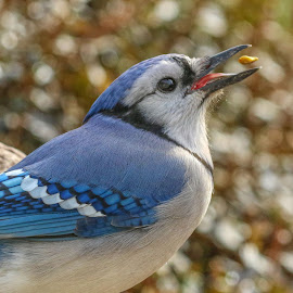 Ready, set, gulp by Kathy Jean - Animals Birds ( jay catching seed, jay, blue jay, bird, animal )