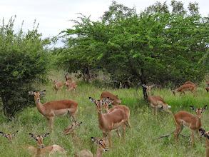 Photo: Impala everywhere