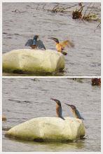 Photo: 撮影者:hamada sanae カワセミ タイトル:カワセミの幼鳥 観察年月日:2014年7月3日 羽数:3羽 場所:高幡橋下流300M 区分: メッシュ:武蔵府中3K コメント:カワセミ幼鳥2羽 近くで川に飛び込む親鳥の方を見て鳴いていました