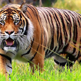 Sumatran Tiger by Phil Le Cren - Animals Lions, Tigers & Big Cats ( big cat, cat, tiger, sumatran tiger, animal, zoowatch, zoo, animals,  )