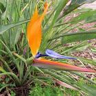 Bird of paradise, Ave del paraiso