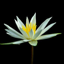 Single flower by Umesh Halder - Flowers Single Flower ( flower in wild, nature, single flower, nature up close, flower )