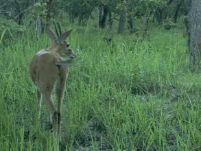 Photo: A male duiker; Um bambi macho.