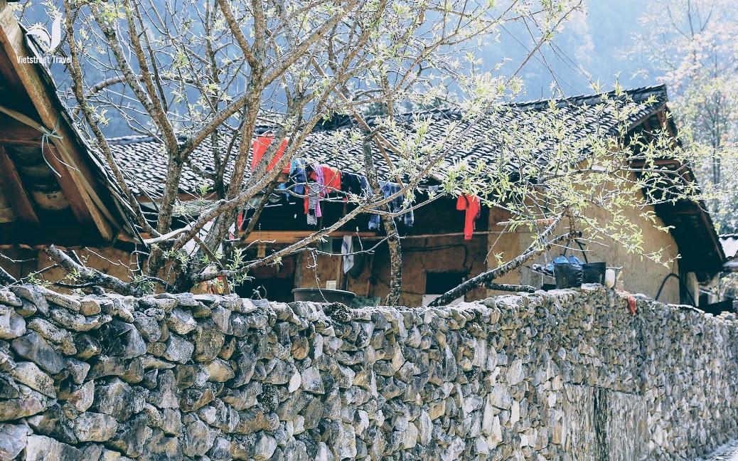 Cành đào sân nhà của Pao