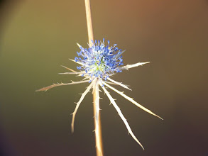 Photo: Eryngium tenue