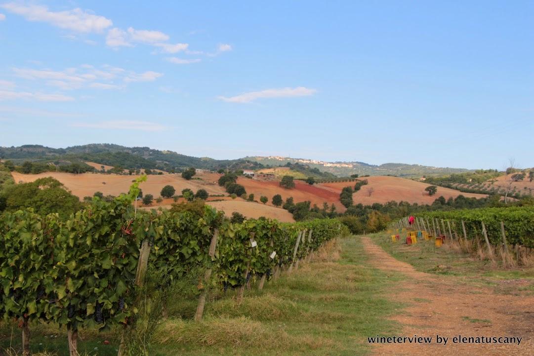 vendemmia, sangiovese, roccapesta, vino rosso, scansano, morellino di scansano, maremma, maremma vino, uva, wine, red vine, sangiovese wine, maremma wine, grape, grape harvest, toscana vino, tuscan wine, vigneto, vine