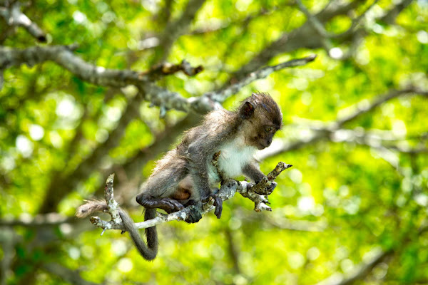 Spot monkeys at Monkey Beach