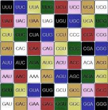 Photo: T/U=00   C=01   A=10   G=11.  This is the context driven phonemic RNA CODON color progression (0-63).  Is the only difference between DNA and RNA that the T for thymine in DNA is replaced by U for uracil in RNA?  Or does this change also conform effortlessly to a balanced RNA architecture where uracil acts like a mathematical 'morphism'?