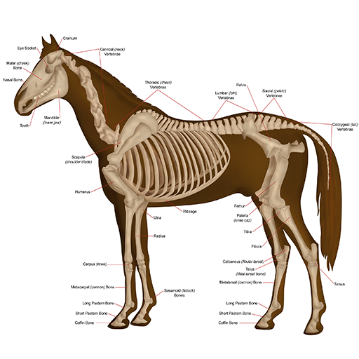 Horse Anatomy Diagrams : Equine Anatomy