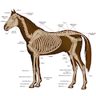 Horse Anatomy Diagrams : Equine Anatomy icon