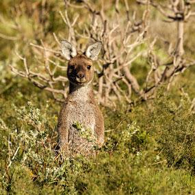 Kangaroo by Erica Siegel - Animals Other Mammals ( australian wildlife, kangaroo, wildlife, marsupial, australian native animal, mammal )