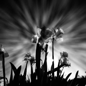 spring daffs by Tony Simcock Eadie - Black & White Flowers & Plants ( clouds, black and white, movement, daffodils, flowers,  )