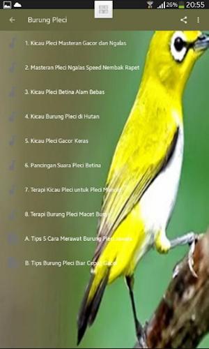 Suara Pleci Betina Untuk Pancingan : suara, pleci, betina, untuk, pancingan, Suara, Burung, Pleci, Betina, Gambar