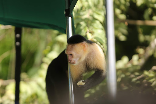 A white-faced capuchin is rewarded with a snack after climbing onto or boat at Monkey Island in Panama.