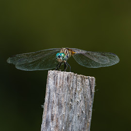 blue dasher by Matt Hollamon - Animals Insects & Spiders ( dragonfly, nikon, bugs, wings, insect )