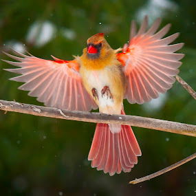 by Steven Burki - Animals Birds (  )