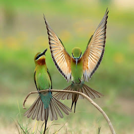The Display by Prasanna Bhat - Animals Birds ( natgeo wildbird blue-tailed bee-eater ishootbirds )