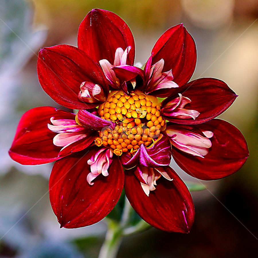 Dalhia n000131 by Gérard CHATENET - Flowers Single Flower