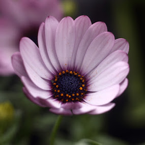 macro by János Farkas - Nature Up Close Flowers - 2011-2013 ( canon, extension tube, macro, m42, helios )