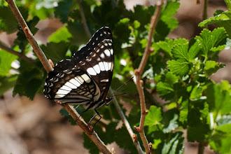 Photo: Butterfly on viburnum bush 06/08