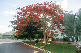Photo: this time of year, the kind of red flower is in full bloom all over the island
