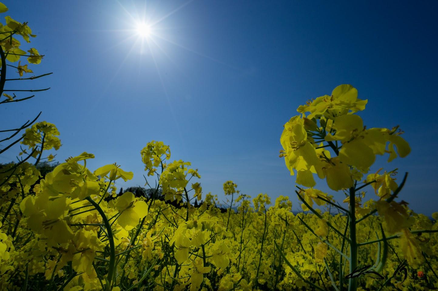 春の陽を浴びて煌めく菜の花