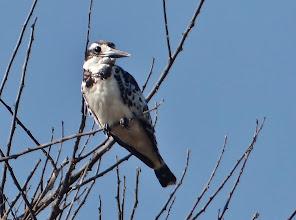 Photo: Vögel am Viktoriasee: Graufischer (Ceryle rudis, Pied Kingfisher)