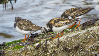 Photo: Turnstones, Aberdeen Beach