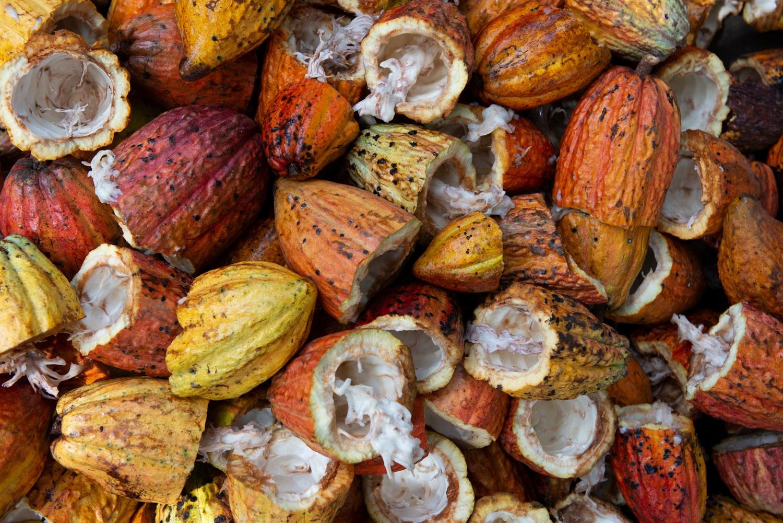 As condições climáticas no Brasil favorecem o cultivo do cacau orgânico.