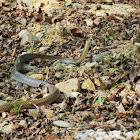 Javanese Rat Snake