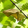Pupa of Southern Birdwing Butterfly