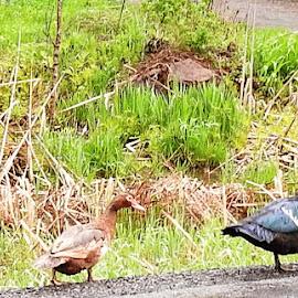Ducks by Jaliya Rasaputra - Animals Birds