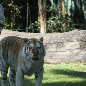 by Ashleigh Jane Schofield - Animals Lions, Tigers & Big Cats