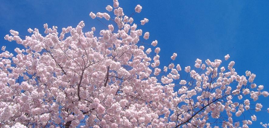 93a4d8e0d08ee6f25cbab6fb5d3cf8a1_cherry-blossom.jpg