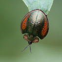 Spatulate Leaf Beetle