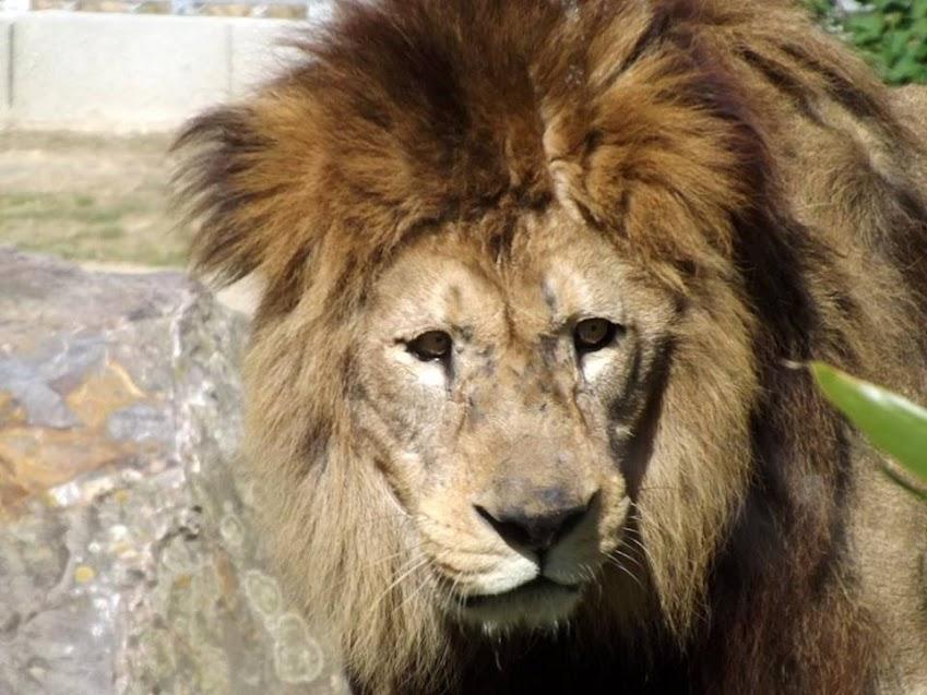 Lion de l'Atlas, les Sables d'Olonne - Tous droits réservés