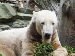 Photo: Beschaeftigt sich Knut eben allein mit dem Gruenzeug :-)