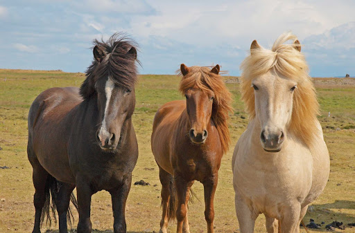 reyk.jpg - Interact with Icelandic horses at a traditional Icelandic farm near Husavik, Iceland, on your Lindblad Expeditions adventure.