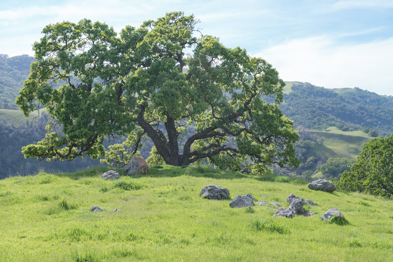 Green grass with scattered boulders, and a glorious oak tree