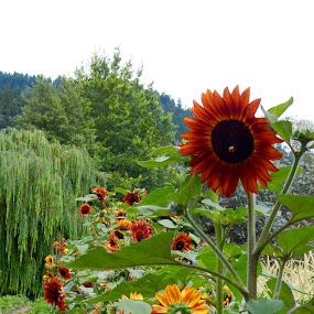 Sunny by Sherry Gardner - Flowers Flower Gardens