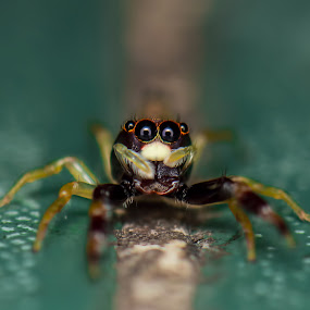 spider by Zaidi Razak - Animals Insects & Spiders