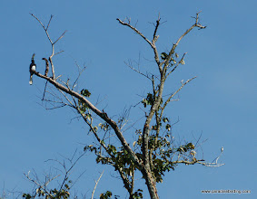 Photo: Size comparison of Pied Horbill (left) and the tiny Bornean Falconet (right)