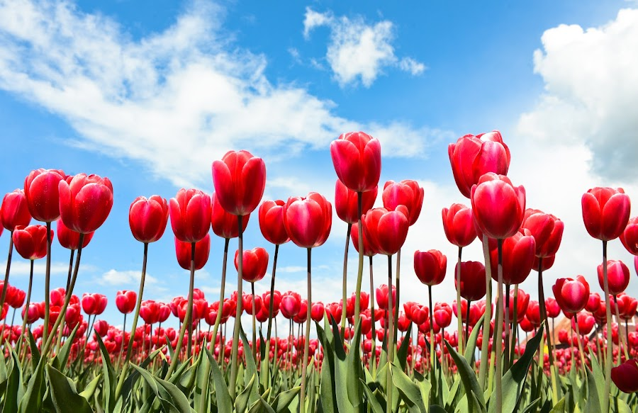 Tulip reds blooming in the bright blue sky by Anand Kannan - Nature Up Close Gardens & Produce ( pwcflowergarden )