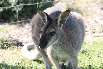 Photo: Year 2 Day 168 -  Kangaroos at Potato Point Caravan Park #4