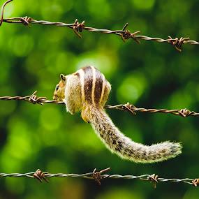 Squirrel - Can I Cross LOC by Manjunath Nagesha Rao - Animals Other Mammals