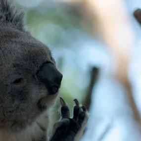 Koala Thinks by Luiz Michelini - Animals Other