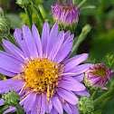 European Michaelmas daisy