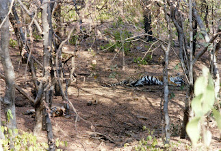 Photo: And again it was so breathtaking - four tigers could be seen