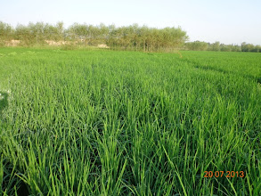 Photo: SRI-plot of rice plants at Nahri Sufi, Chahar Dara in Kunduz Province in Afghanistan. [Photo Courtesy of Ali Muhammad Ramzi, 2013]